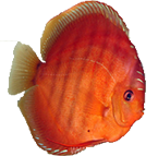 discus_red_alenqer