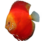 discus_red_dyiny