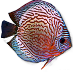 discus_red_turqis