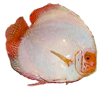 discus_white_babochca